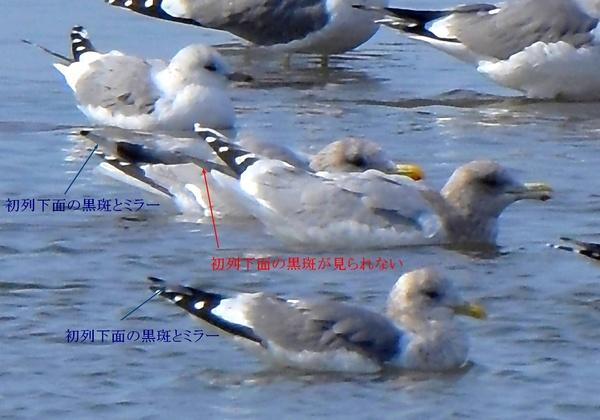カナダカモメ1902ab06t_e.jpg