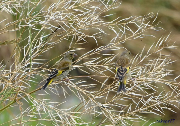 カワラヒワ幼鳥1906ab30s.jpg