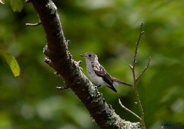 コサメビタキ幼鳥1807aa35.jpg