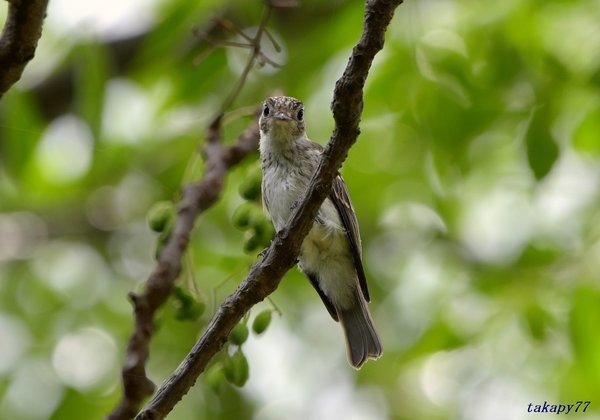 コサメビタキ幼鳥1807ae40.jpg