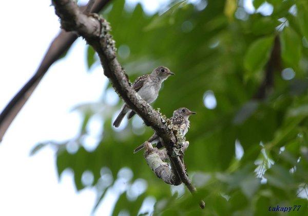 コサメビタキ幼鳥1807ak45.jpg