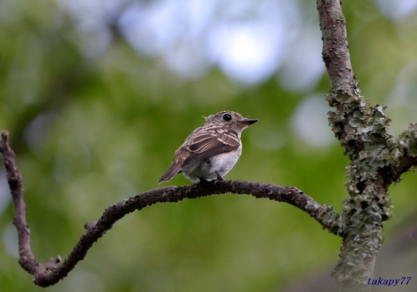 コサメビタキ幼鳥1807an35.jpg