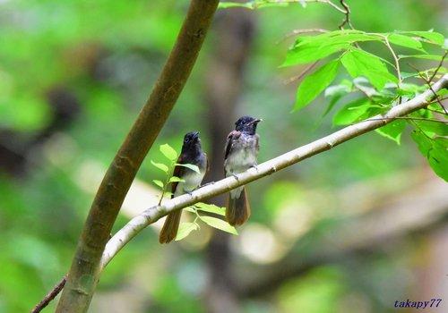 サンコウチョウ幼鳥1707ch45.jpg