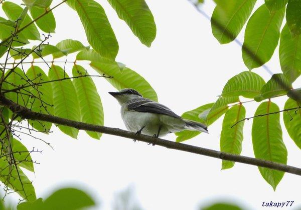 サンショウクイ幼鳥1806af40.jpg
