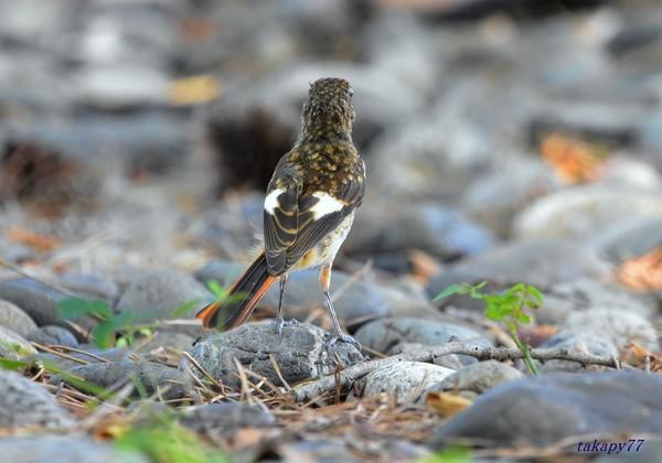 ジョウビタキ幼鳥1908ab57s.jpg