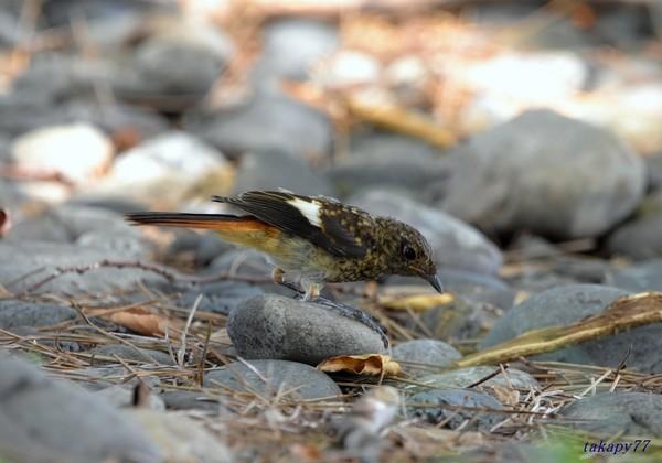 ジョウビタキ幼鳥1908ac57s.jpg