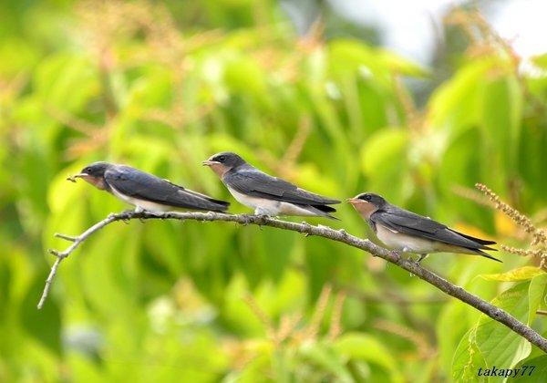 ツバメ幼鳥1806af45.jpg