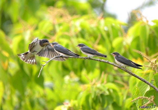 ツバメ幼鳥1806ag57.jpg