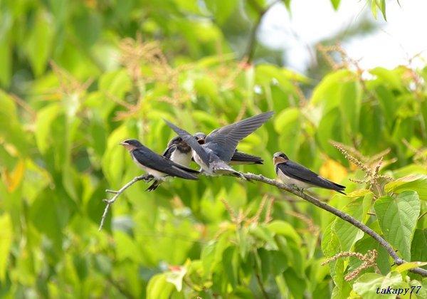 ツバメ幼鳥1806ak45.jpg