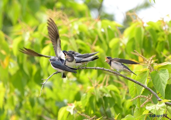 ツバメ幼鳥1806an45.jpg