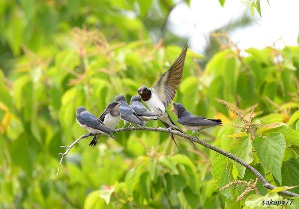 ツバメ幼鳥1806ao45.jpg