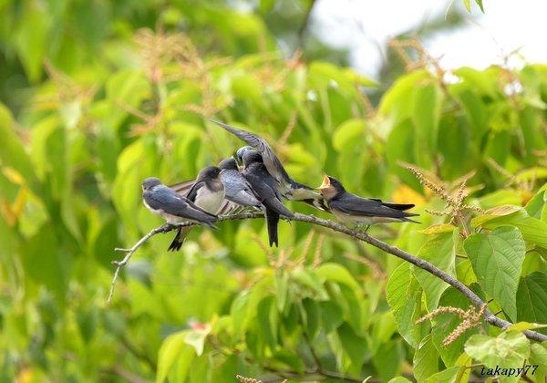 ツバメ幼鳥1806ap45.jpg