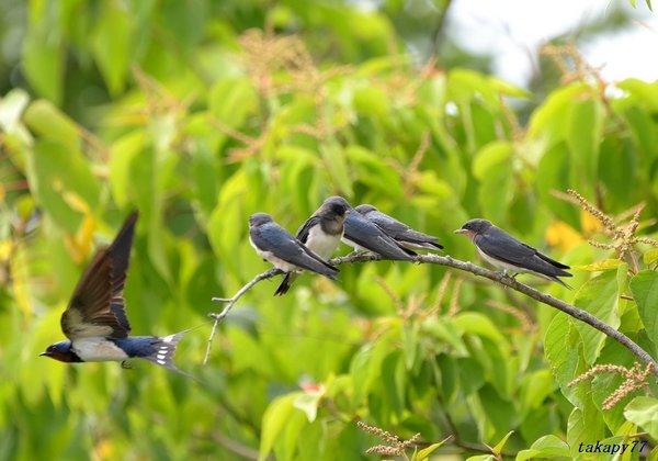ツバメ幼鳥1806aq45.jpg