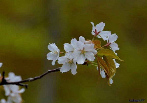 山桜1804aa50.jpg
