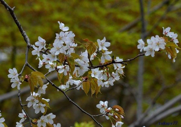 山桜1804ab45.jpg